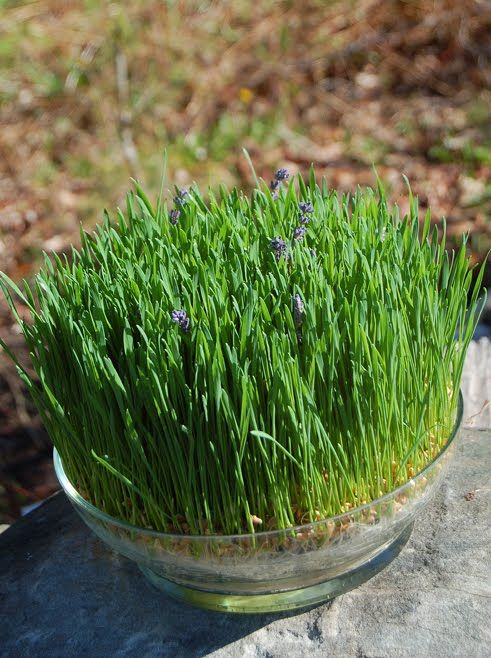 a ready spring centerpiece of wheatgrass and lavender is a gorgeous idea of a living piece that will last long