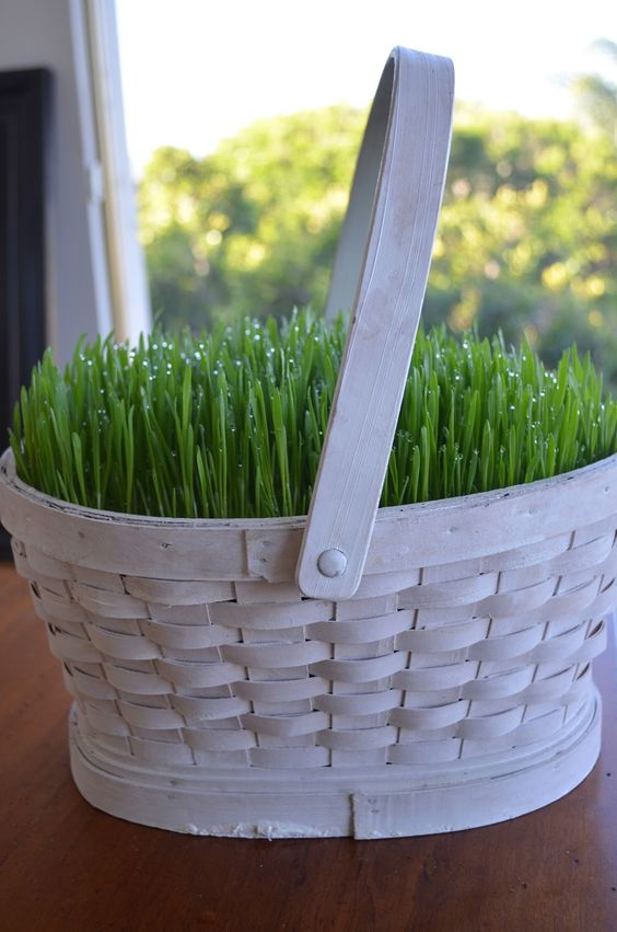 a white basket with wheatgrass is a truly spring or Easter decoration to rock