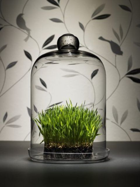 wheatgrass in a cloche is a stylish modern decoration for spring, and it's easy to make