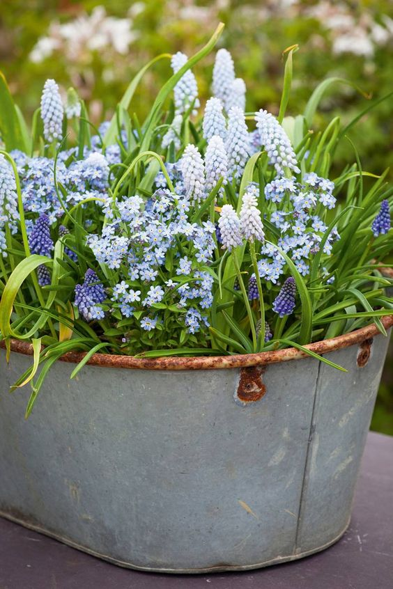 a galvanized bathtub with greenery, forget-me-not and purple hyacinths is a lovely rustic spring decoration