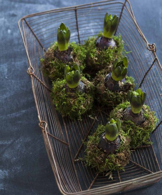 a wire basket with hyacinths in moss for a woodland or natural feel in the space