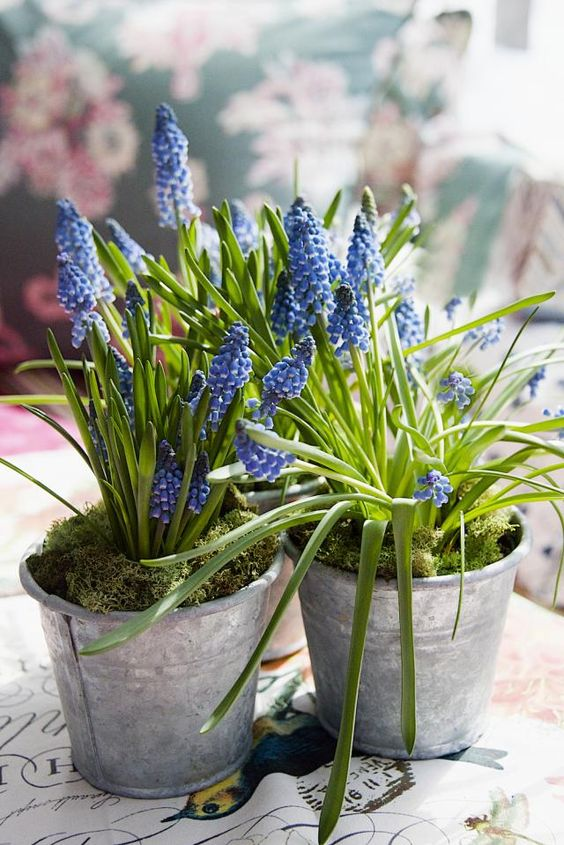 buckets with blue hyacinths and moss will bring a rustic spring feel to the space easily