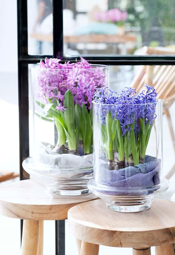 potted hyacinths in large glass vases will add a touch of color and spring freshness to the space