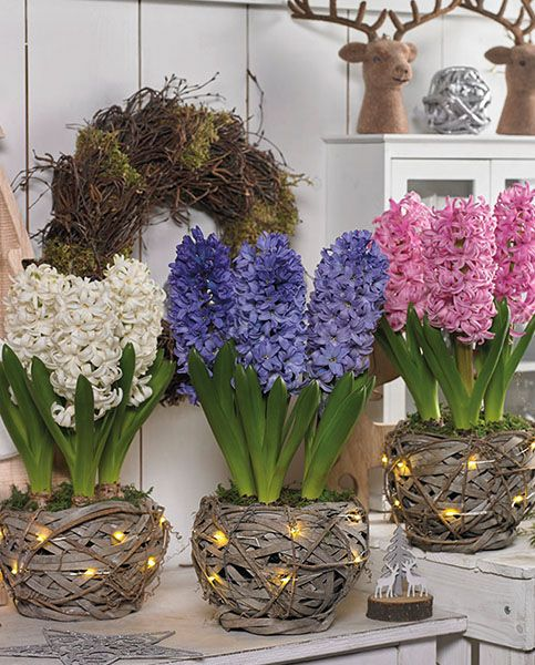 rustic woven planters with lights and colorful hyacinths for a rustic spring feel in your space