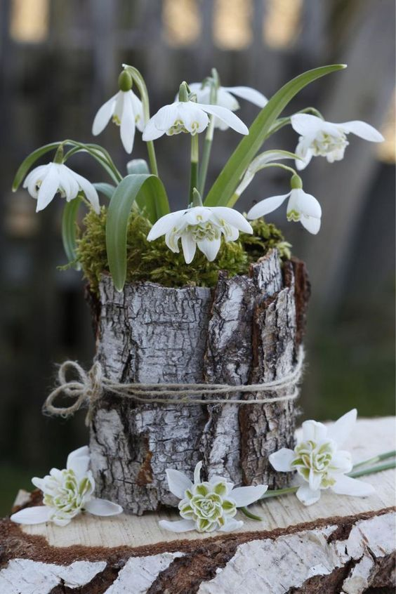 a lovely spring flower arrangement of snowdrops in moss wrapped with bark is a beautiful rustic spring decoration to rock