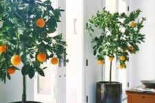 18 potted citrus trees indoors will give your fruit and will look stunning