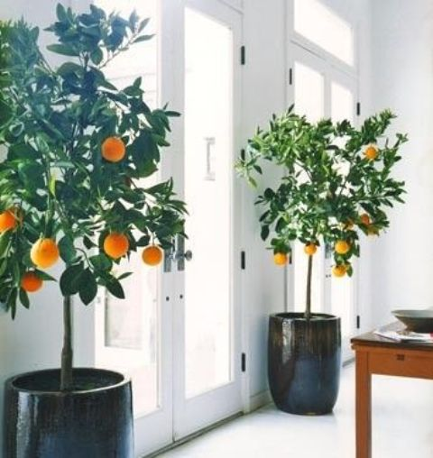 potted citrus trees indoors will give your fruit and will look stunning