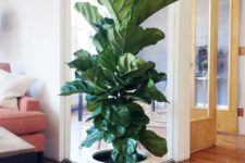 20 fiddle leaf fig in a large white pot will make your space chic