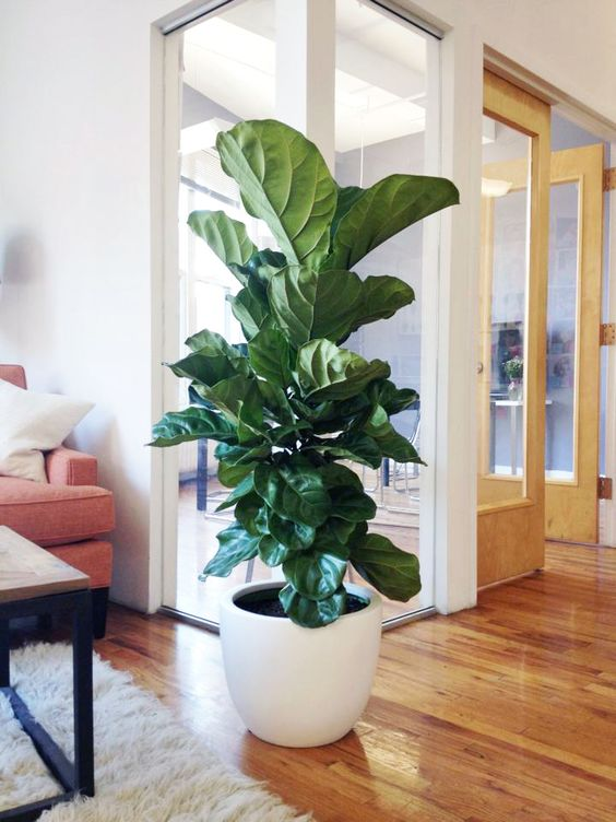 fiddle leaf fig in a large white pot will make your space chic