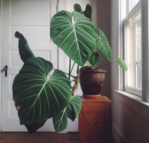 gloriosum philodendron looks impressive and stylish