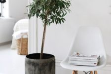 25 indoor olive trees are also very popular because of a cool look