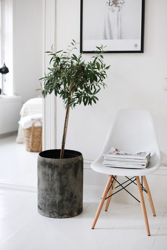 indoor olive trees are also very popular because of a cool look