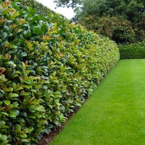 amazing thick greenery living fence for your outdoor space