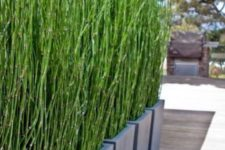 31 horsetail grass in planters can work as a living privacy screen