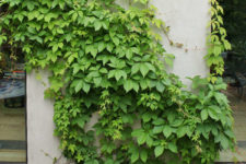 05 Look at this gorgeous ivy growing up the walls