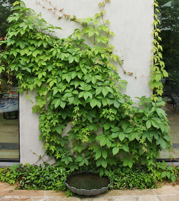 Look at this gorgeous ivy growing up the walls