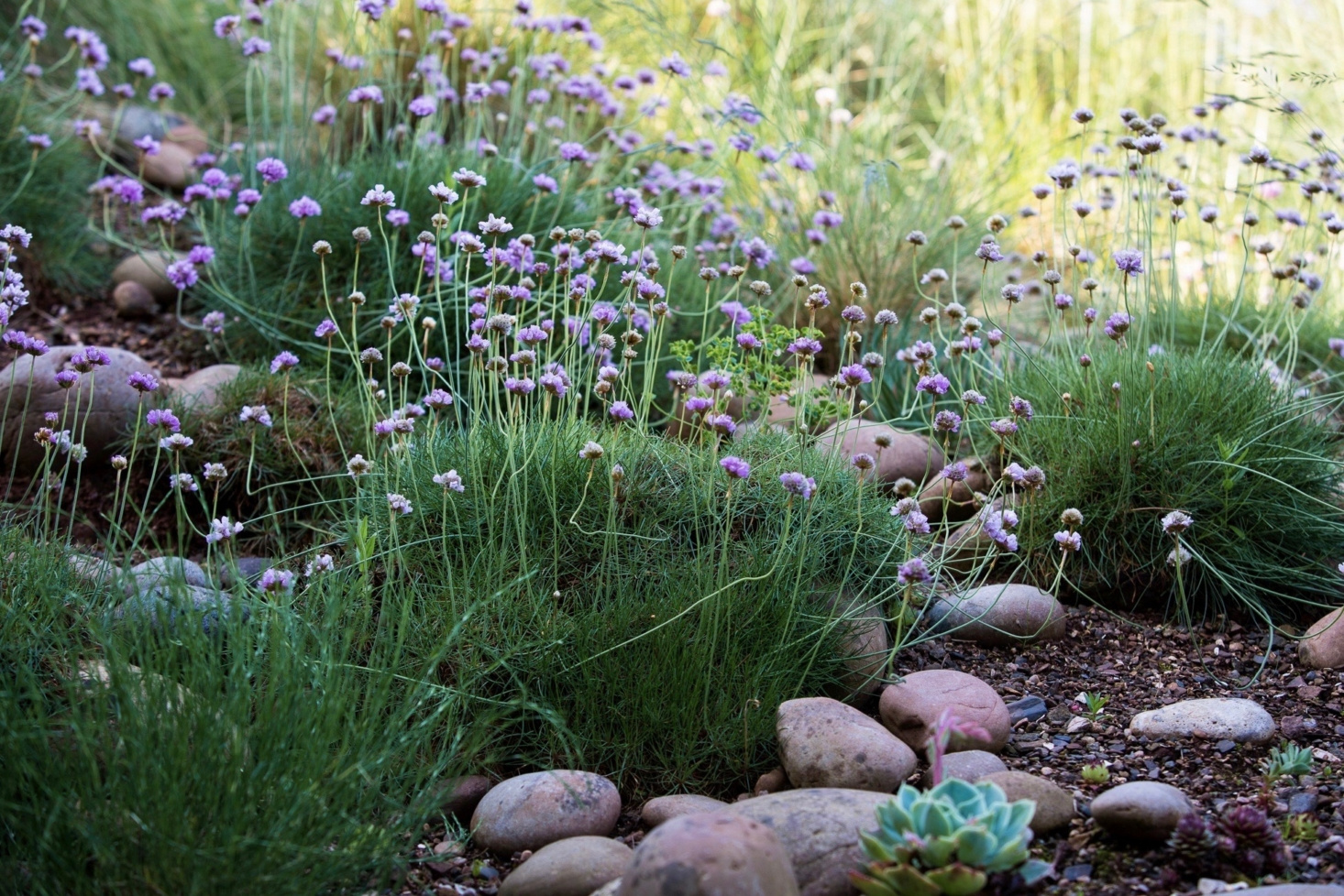 sea thrift (Armeria maritima) forms helpful mats of ground cover, aided here by stones and gravel