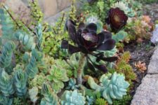 22 a large dark-colored succulent is accented even more with light green ones around