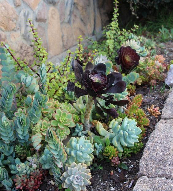 a large dark colored succulent is accented even more with light green ones around