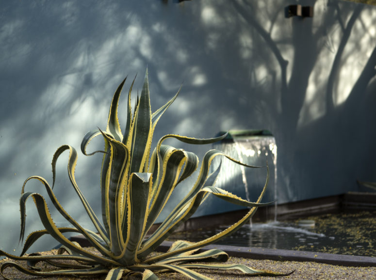 a gorgeous statement agave in grene and yellow will be a nice statement piece for your garden