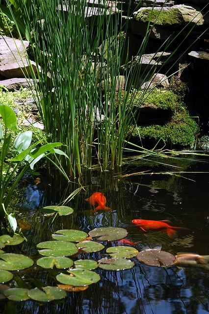 If conditions are right you can add some beautiful fishes to your pond.