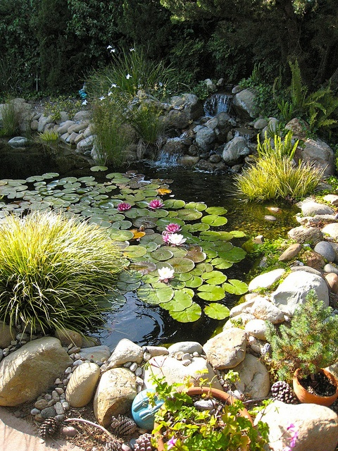 Nymphaeaceae is a family of water plants that should be added to any backyard pond.