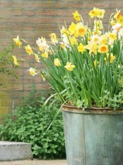 a large galvanized bucket with daffodils is a pretty and easy spring decoration to rock