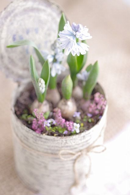 a tin can with fresh blooming bulbs is a lovely idea for a shabby chic or rustic space
