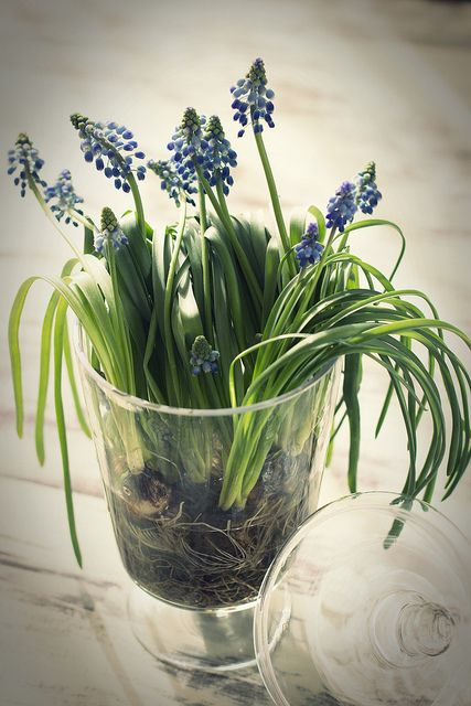 a jar with blue hyacinths is a cool idea as spring bulbs instantly bring a spring feel to the space