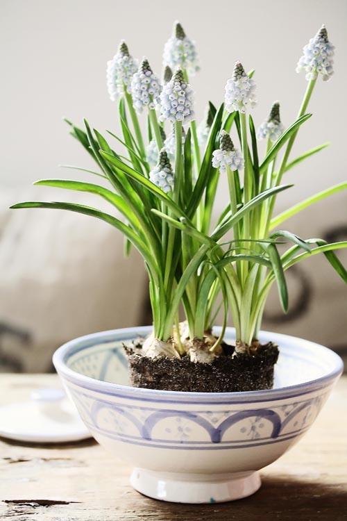 a blue bowl with blue hyacinths is a simple and laconic rustic decoration for spring, outdoors or indoors