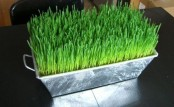a metal box with wheatgrass is a stylish and bold centerpiece for spring or a lively decoration