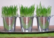 galvanized buckets with wheatgrass are great for spring decor in slight rustic style