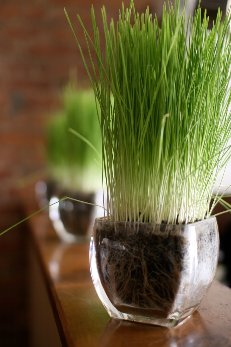 sheer glass vases with wheatgrass are great for fresh spring decor in modern style
