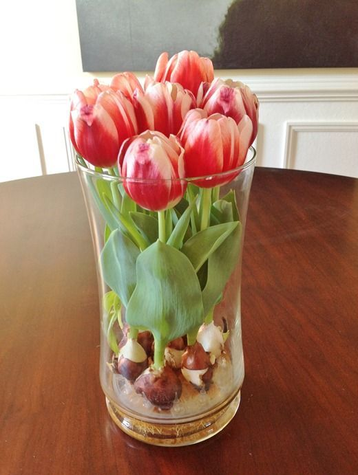 a clear vase with bright red tulips growing from bulbs is a simple and timeless spring decoration or centerpiece