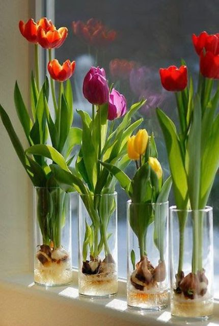 clear glasses with colorful tulips growing from bulbs will refresh your windowsill or will make a bold centerpiece for a party