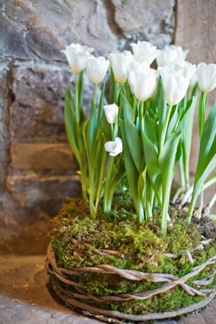 white tulips growing in a piece of moss covered with vines are a beautiful spring decoration to recreate