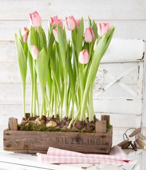 pink tulips growing in a simple wooden crate are a great spring or Easter decoration to rock