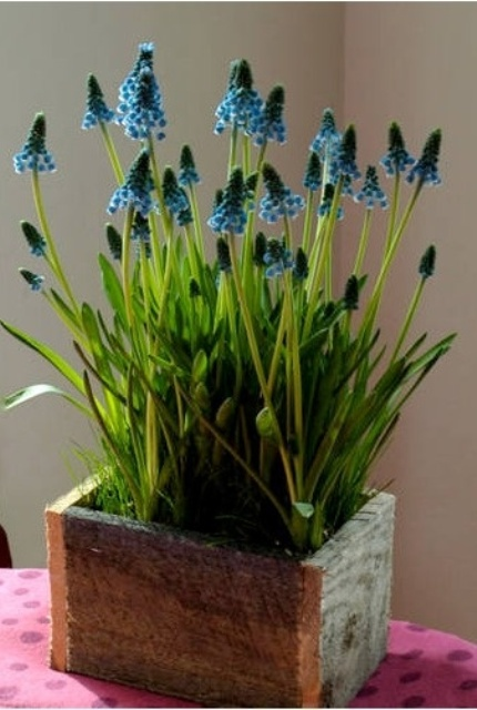 a rough wooden box with blue hyacinths is a pretty decoration or centerpiece that you can make yourself