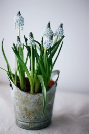 rust metal planter with blue hyacinths is a lovely spring decor idea that you can rock