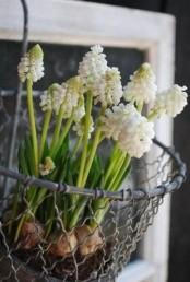 a wire basket with hay and white hyacinths is a rustic spring decoration to rock