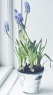 a glas planter with purple hyacinths is a lovely way to add a spring touch to the space and make it fresh