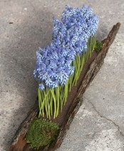 a log with moss and blue hyacinths planted is a very creative and bold spring decoration for outdoors